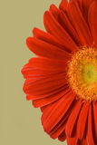 Red Daisy. Close up of a large red and orange daisy isolated against a light green backdrop stock images