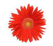 Red daisy. Close up of a red daisy flower on white background royalty free stock images