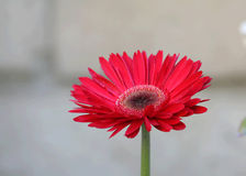 Red Daisy. With blurred background royalty free stock photos