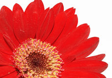 Red Daisy. Isolated on white background Stock Photography