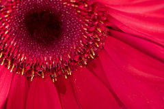 Red Daisy Royalty Free Stock Photos