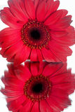 Red Daisy Royalty Free Stock Photography