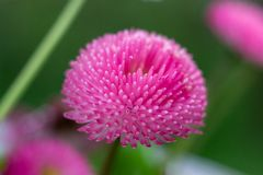 Red daisy. A beautiful, unusual red daisy stock photography