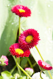 Red daisy blooms Royalty Free Stock Photography