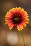Red daisy brown background Stock Photos