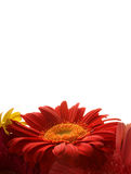 Red daisy card background Royalty Free Stock Photo