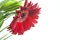 Red daisy or echinacea Stock Photography