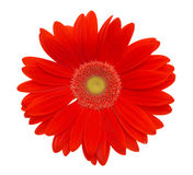 Red daisy flower stock image
