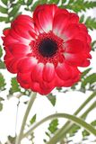 Red daisy flower Royalty Free Stock Photo