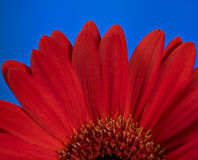 Red daisy flower. A close up of a red daisy flower stock photos