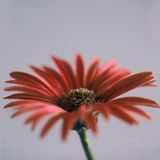Red daisy flower Stock Photos