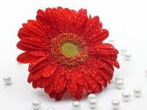 Red daisy flower Stock Images