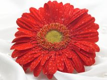 Red daisy flower Royalty Free Stock Photos