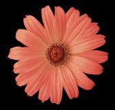 Red daisy flower on the black isolated background with clipping path. Flower for design, texture,  postcard, wrapper.  Closeup. Stock Photos