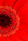 Red daisy flower closeup Stock Photo