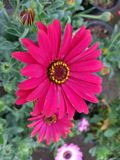 Red daisy flower in garden. Nature and botany, decorative plant for gardens, natural small flowers with petals and colors royalty free stock photography