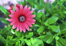 Red daisy flower with green nature background royalty free stock image