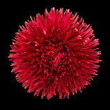 Red Daisy Flower Head Isolated on Black. Background. Bellis perennis - English Daisy - Asteraceae Macro Royalty Free Stock Photo