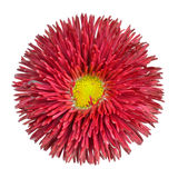Red Daisy Flower Head with Yellow Center Isolated. Red Perennial Daisy Flower Head with Yellow Center Isolated on White Background. Bellis perennis - English Royalty Free Stock Images
