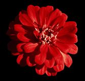 Red daisy flower isolated on the black background with clipping path.  Closeup. Royalty Free Stock Photography