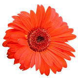 Red daisy flower isolated on white Royalty Free Stock Photos