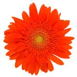 Red daisy flower isolated on white Royalty Free Stock Image