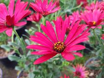Red Daisy flower. Nature and botany, decorative plant for gardens, natural flower with petals and colors stock photo