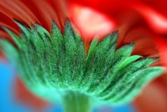 Red daisy flower stem macro Stock Photography