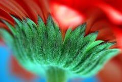 Red daisy flower stem macro
