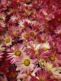 Red daisy flowers with white in a botanical garden, background and texture. Nature and botany, flora and natural life, flower petals with intense colors for royalty free stock image