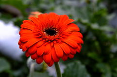 Red daisy in the garden. Single red flower with green background Stock Photography