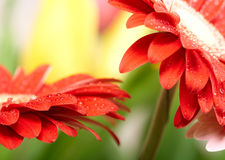 Red daisy-gerbera Stock Images