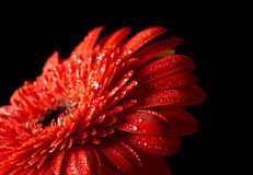 Red daisy-gerbera Royalty Free Stock Images