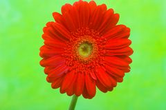 Red Daisy Gerbera Flower Royalty Free Stock Photos