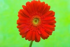 Red Daisy Gerbera Flower Royalty Free Stock Photos