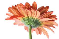 Red daisy-gerbera with water drops Stock Photo