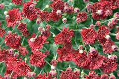 Red daisy mum Stock Image