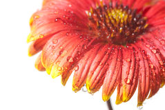 Red daisy petals Royalty Free Stock Images