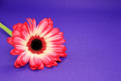 Red Daisy on Purple Stock Images