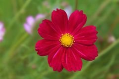 Red daisy resting and basking stock photo