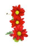 Red Daisy Stock Photos