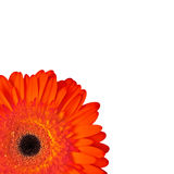 Red daisy. Top view of red daisy flower over white background stock photo
