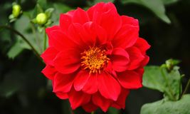 Red dalhia blossoming in full royalty free stock photo