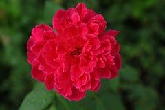 Red Damask Rose flower. In dark green leaves background stock image