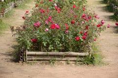 Red damask rose flower. In garden stock images