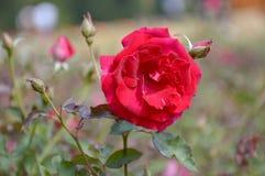 Red damask rose flower. In garden stock photography
