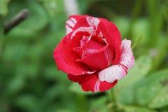 Red damask rose flower. In nature garden stock image