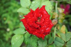 Red damask rose flower in nature garden. Close up Red damask rose flower in nature garden royalty free stock photography