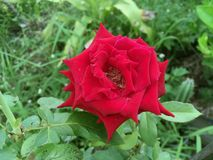 Red damask rose flower. In nature garden royalty free stock photo
