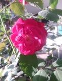 Red damask rose flower in nature house. Close up red damask rose flower in nature garden and house vector illustration